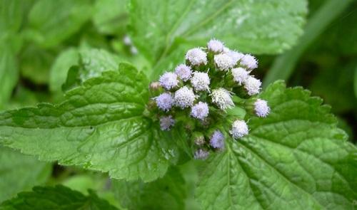 Cây hoa ngũ sắc giúp trị viêm xoang hiệu quả
