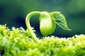 Giải đáp thắc mắc uống mầm đậu nành có tác dụng gì?